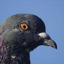 feral-pigeon-head-31_08_reasonably_small