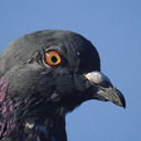 feral-pigeon-head-31_08_reasonably_small